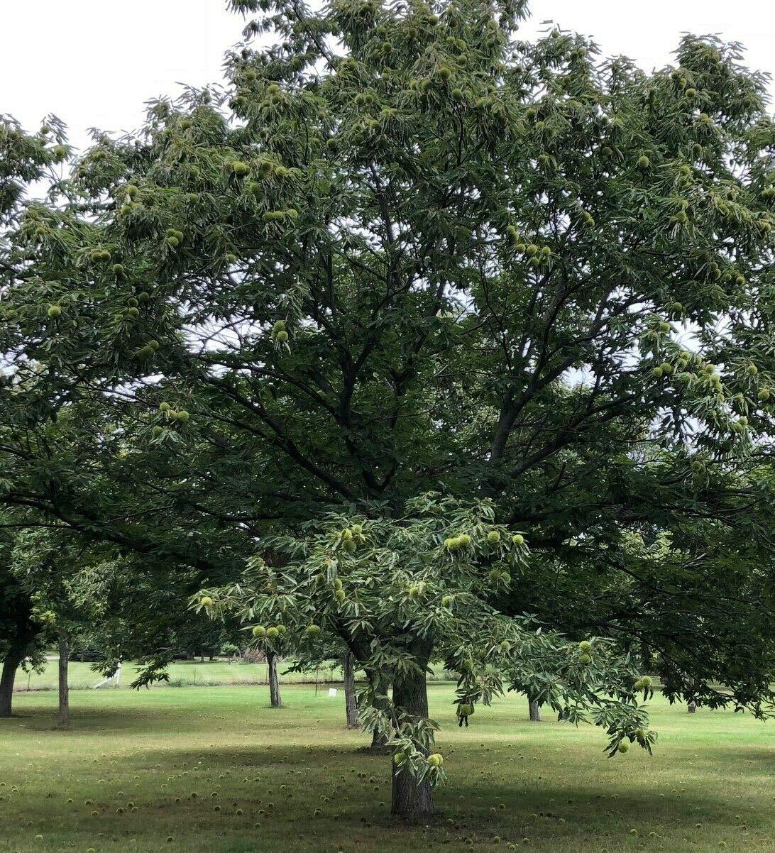 Live Plant Chinese Chesnut Trees Edible Fruit Nut Castanea Seedling Sapling