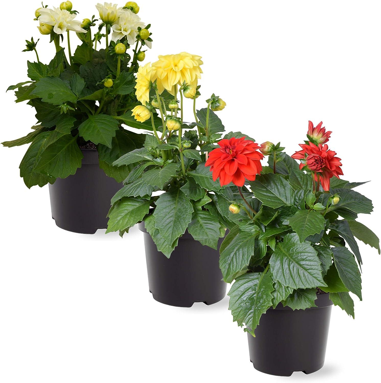 The Three Company Live Flowering 5