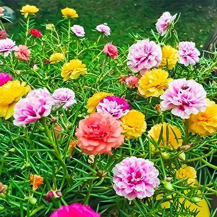 Amazon Com Portulaca Flower Seeds Double Mix 25 Oz Seed