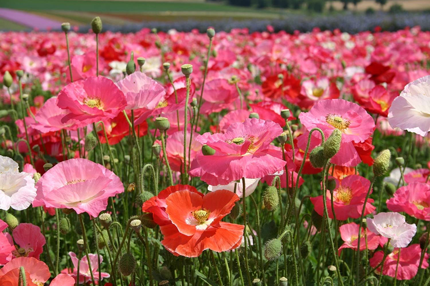 Shirley Single Mix Poppy Flower Seeds, 3000 Heirloom Flower Seeds Per Packet, Non GMO Seeds