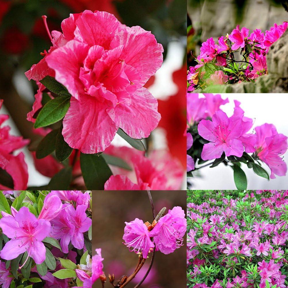 lamta1k 10Pcs Arbusto perenne Azalea Semillas de rododendro Bonsai Jardín de Flores Calidad y Alta tasa de Supervivencia s - Azalea Seeds