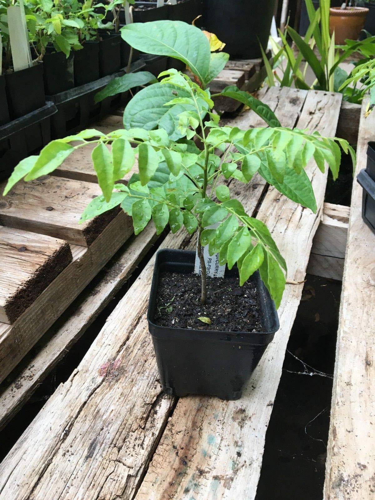 Curry Leaf Tree Murraya koenigii Live Plant Tropical Tree in a 4 inch Pot