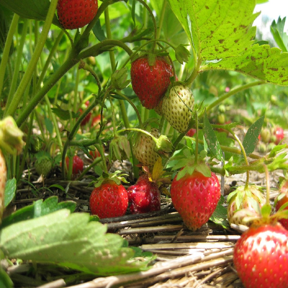 STRAWBERRY PATCH FRAGRANCE OIL FOR CANDLE /& SOAP MAKING BY VIRGINIA CANDLE SUPPLY FREE S/&H IN USA 2 OZ