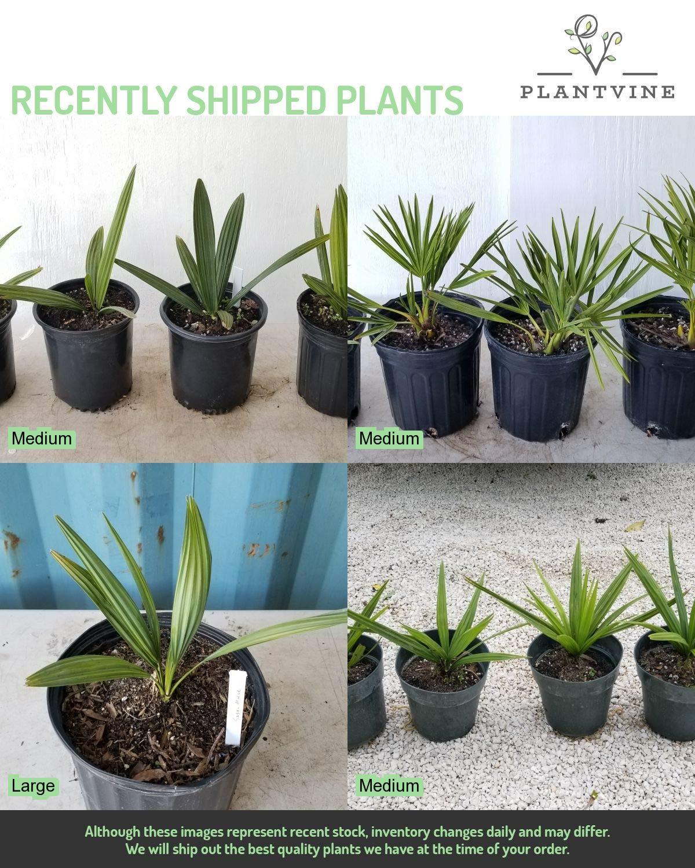 PlantVine Sabal Minor, Dwarf Blue-stem Palmetto - Large - 8-10 Inch Pot (3 Gallon), Live Plant - 4 Pack by PlantVine (Image #5)