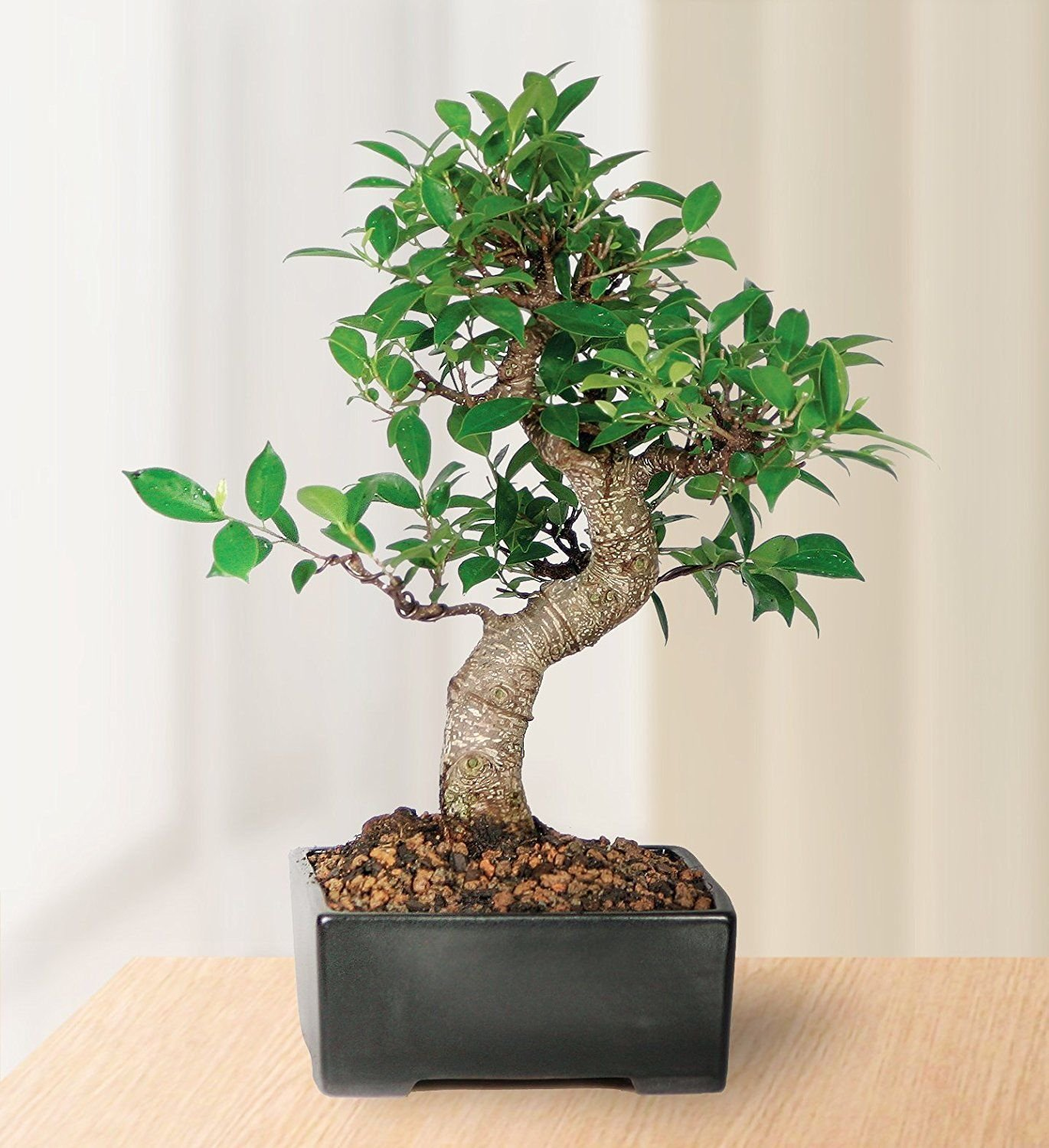Bonsai Golden Gate Ficus Tree Foliage Plant 7 Years Tropical V3 by Iniloplant (Image #3)