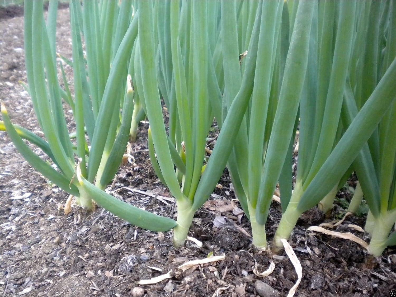 Amazon 1000 Scallion Seeds Aka Green Onion Spring Onion