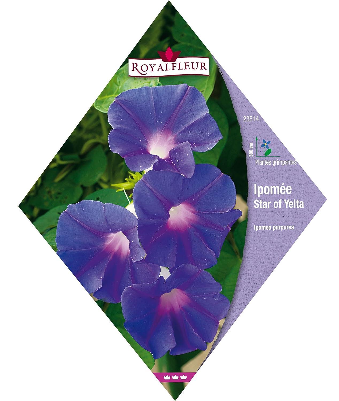 Royalfleur PFRV23514 Graines de Ipom/ée Star Of Yelta