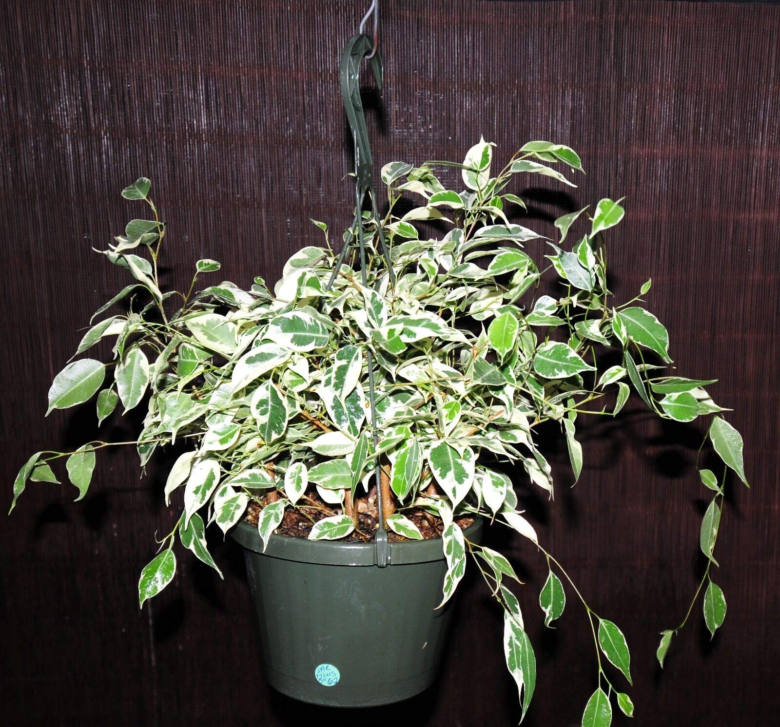 Huge 8'' Variegated Ficus Benjamin Weeping Fig Tree or Bonsai Tree Very Mature! (Premium Quality) by AY-Premium
