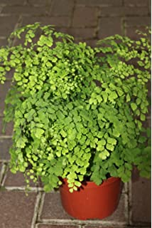 amazon com maiden hair fern plant in 6 inch pot about 16 inches
