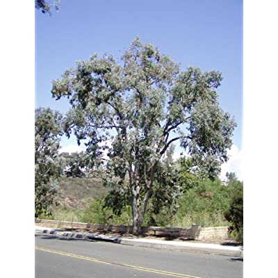 Eucalyptus polyanthemos-Silver Dollar Eucalyptus Tree 25+ Seeds : Tree Plants : Garden & Outdoor
