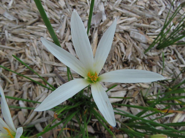 Amazon Rain Lily Zephyranthes Bangkok White 2 Bulbs New
