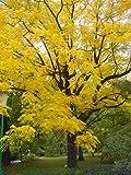 Black Walnut Tree JUGLANS NIGRA 20-30cm tall seedling plant -1L pot- edible fruits - valuable wood