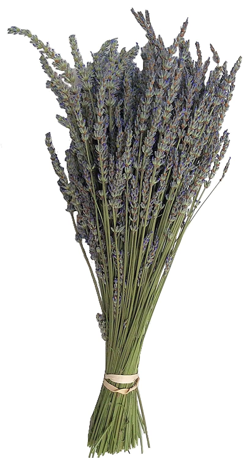 """GROSSO"" dried Lavender Bundle - freshly harvested a beautiful long stemmed gray/blue colored lavender variety from Zziggysgal - Ships FAST! zziggysgal rosebud daisy"