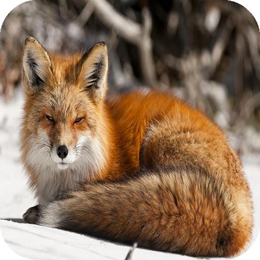Fox 4k Wallpaperamazonappstore