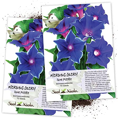 50Seeds Purple Black Ipomoea Tricolor Morning Glory Flower Seeds Rare Annual Heirloom Climbing Vine Plants for Home Garden