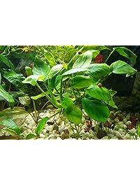 anubias barteri nana rooted rhizome live aquarium decorations plants 3 days live guarantee by mainam