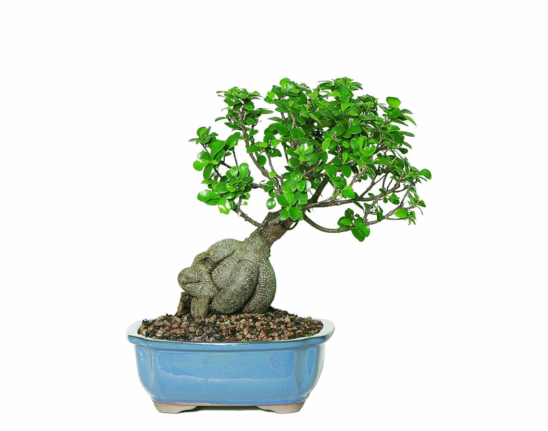 ficus bonsai bonsai tree decorations. Black Bedroom Furniture Sets. Home Design Ideas
