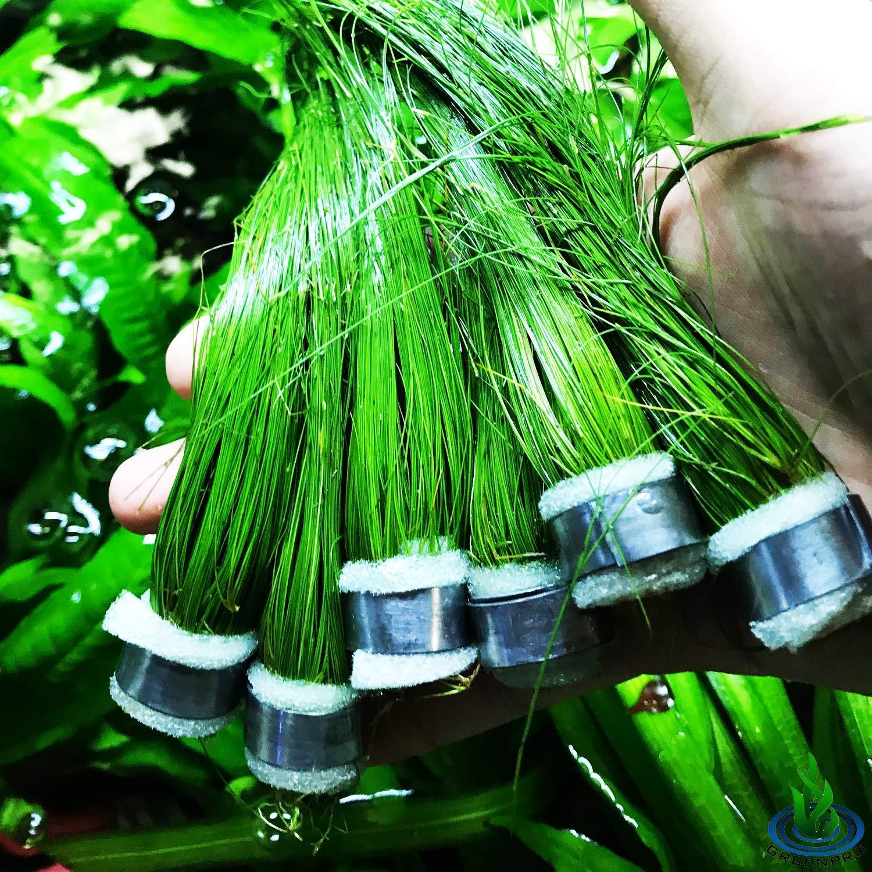 Greenpro (6 Bundle) Giant Hairgrass   Eleocharis Vivipara Package Freshwater Live Aquarium Plants Background Fish Tank Decoration by Greenpro
