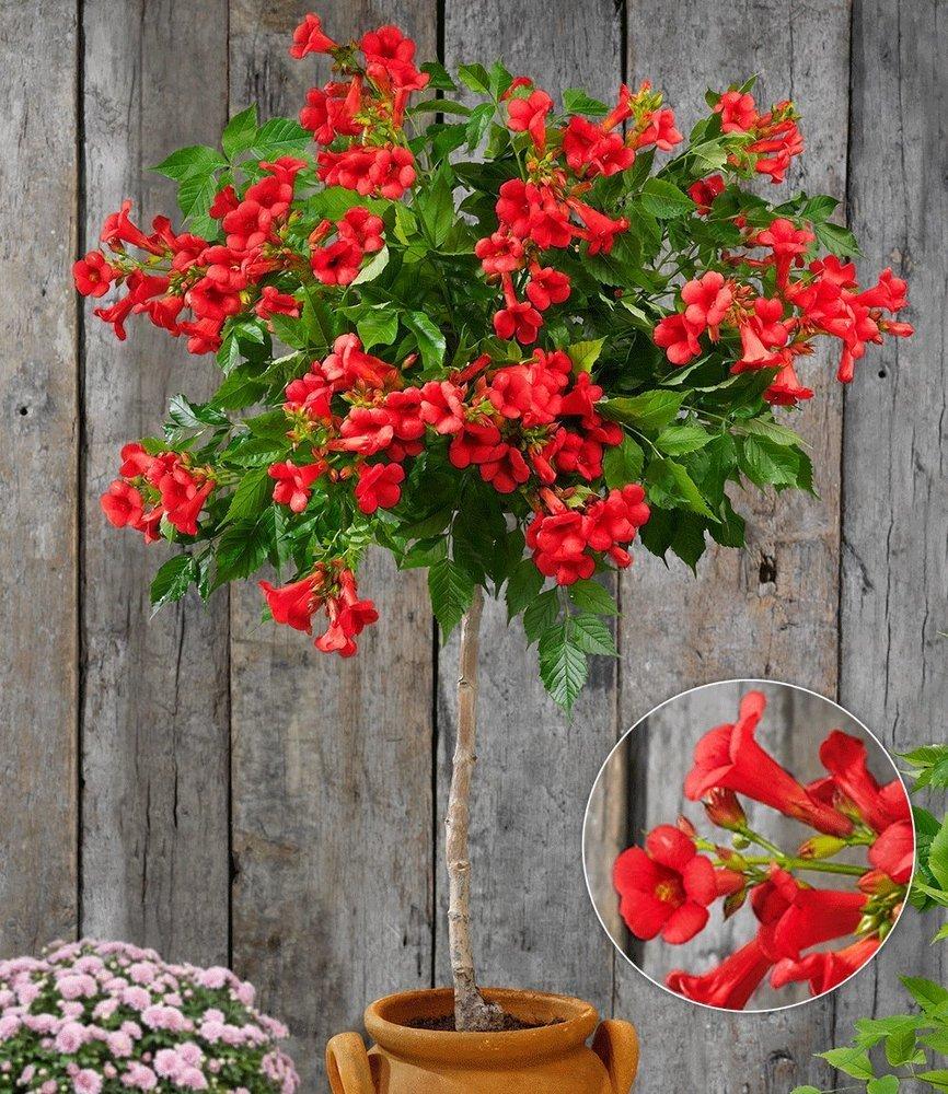 BALDUR-Garten Campsis-St/ämmchenFire Trumpet Vine/®,1 Pflanze