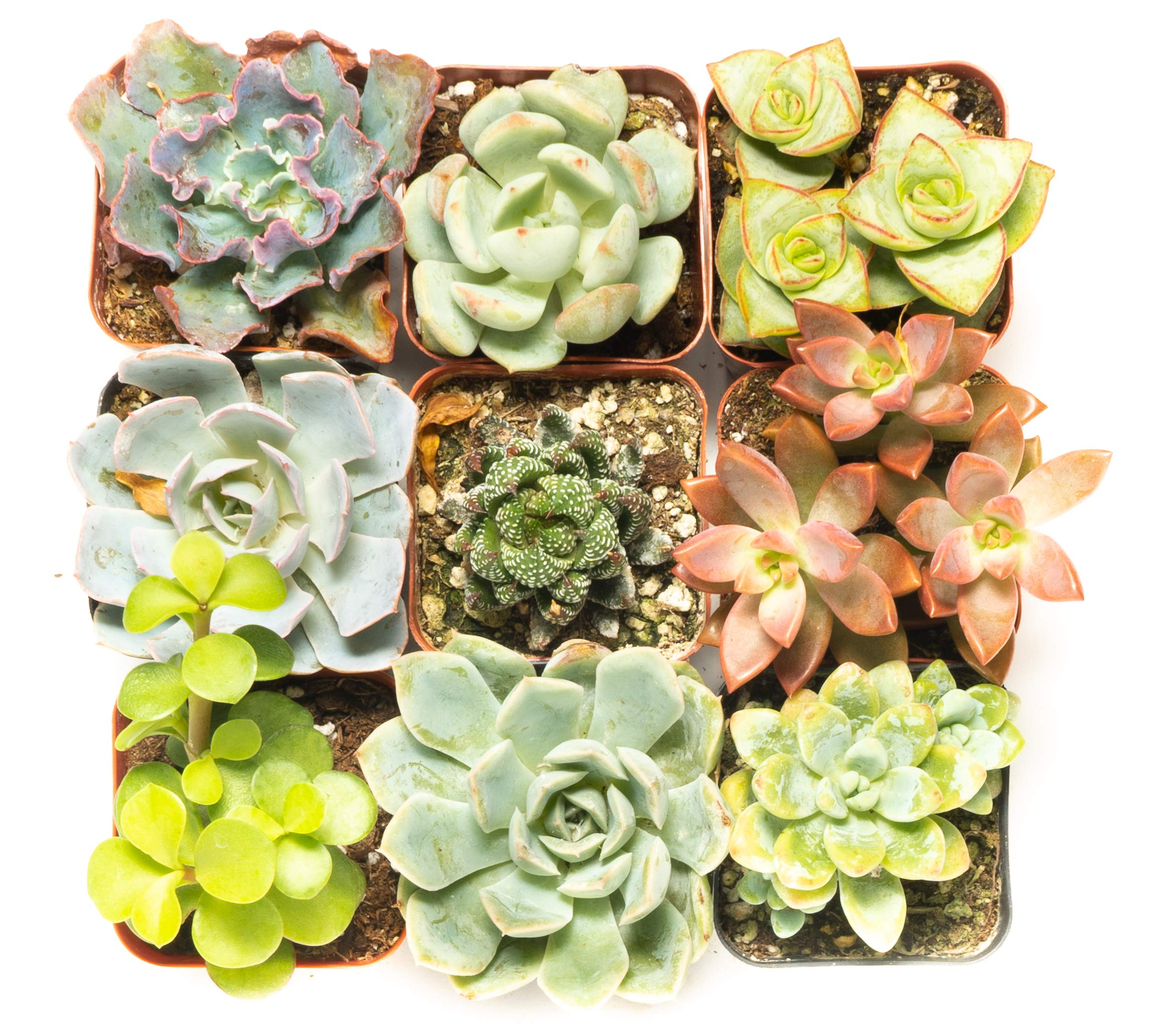 Succulent Assorted Pack- Perfect for Weddings, Party Favors, Home Gardens, and Social Events by Jiimz (9 Pack)