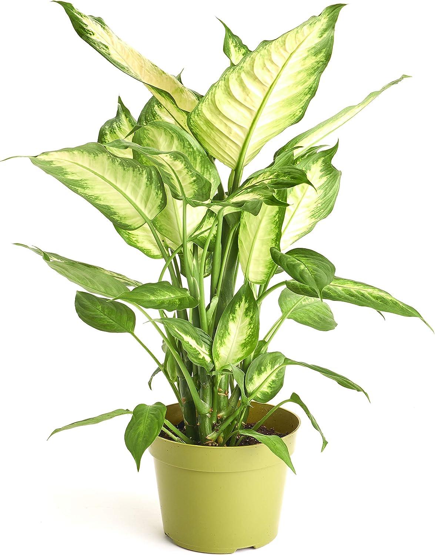 home decor ideas use tropical leaves.htm amazon com shop succulents dumb cane  dieffenbachia camille  dumb cane  dieffenbachia camille