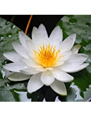 Futaba®Water lily Nymphaea perennial aquatic herbs mixed color 10 seeds
