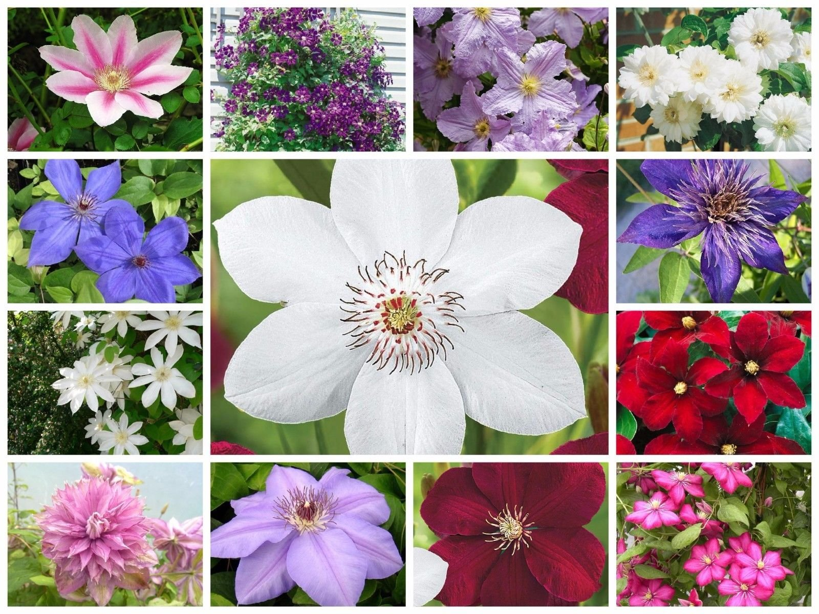 Garden Wonder Clematis Mix (3 Bare Root) Early,Large-flowered Vine