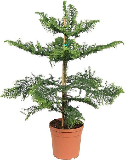 Planta de interior de Botanicly – Pino de Norfolk – Altura: 85 cm ...