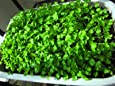 Seedstores : Hybrid Coriander Dhania Seeds For Kitchen Terrace Gardening 20 Grams 1000 Plus Seeds