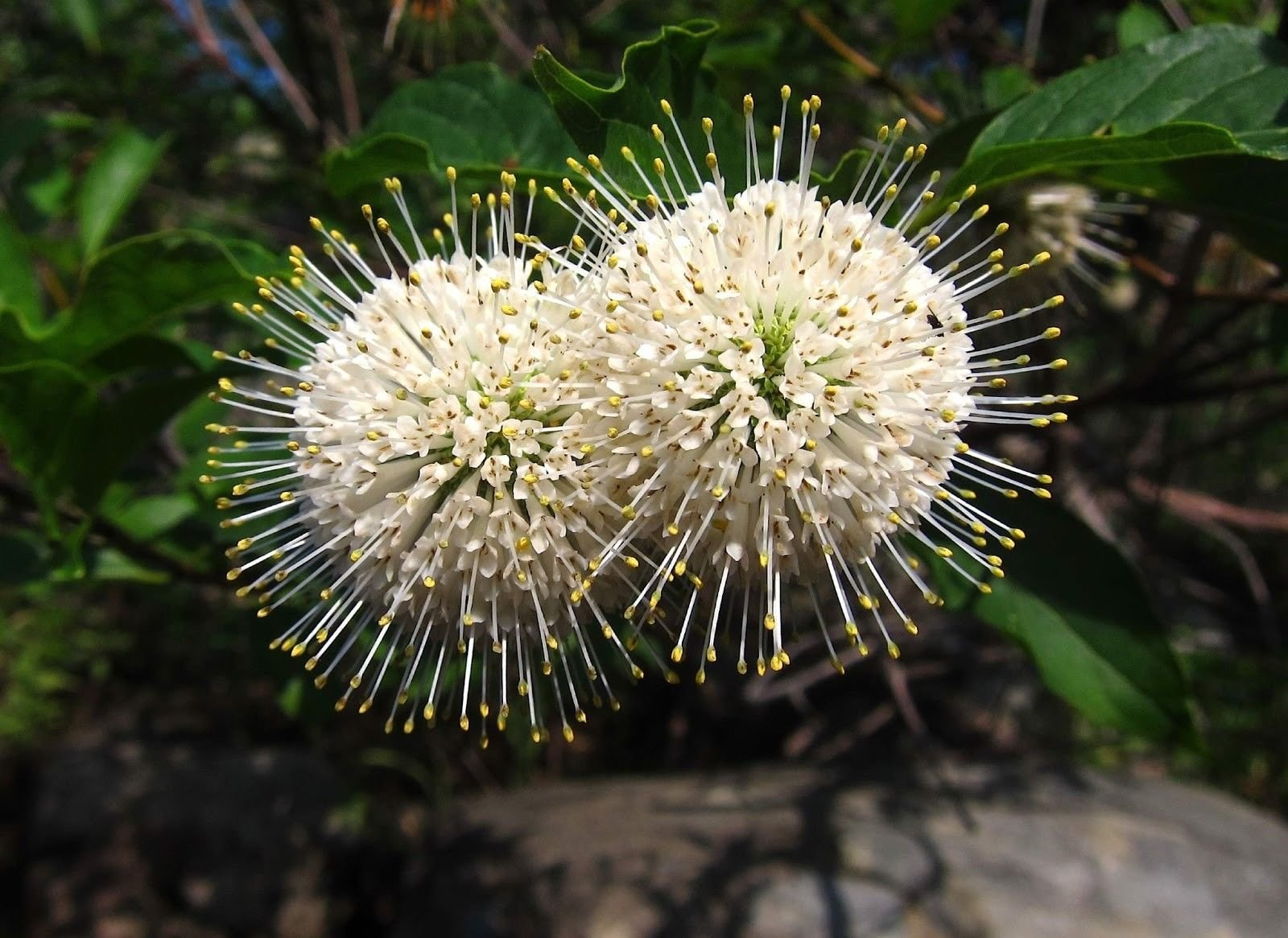Two (2) Buttonbush (Cephalanthus occidentalis) 1 year old plants well rooted
