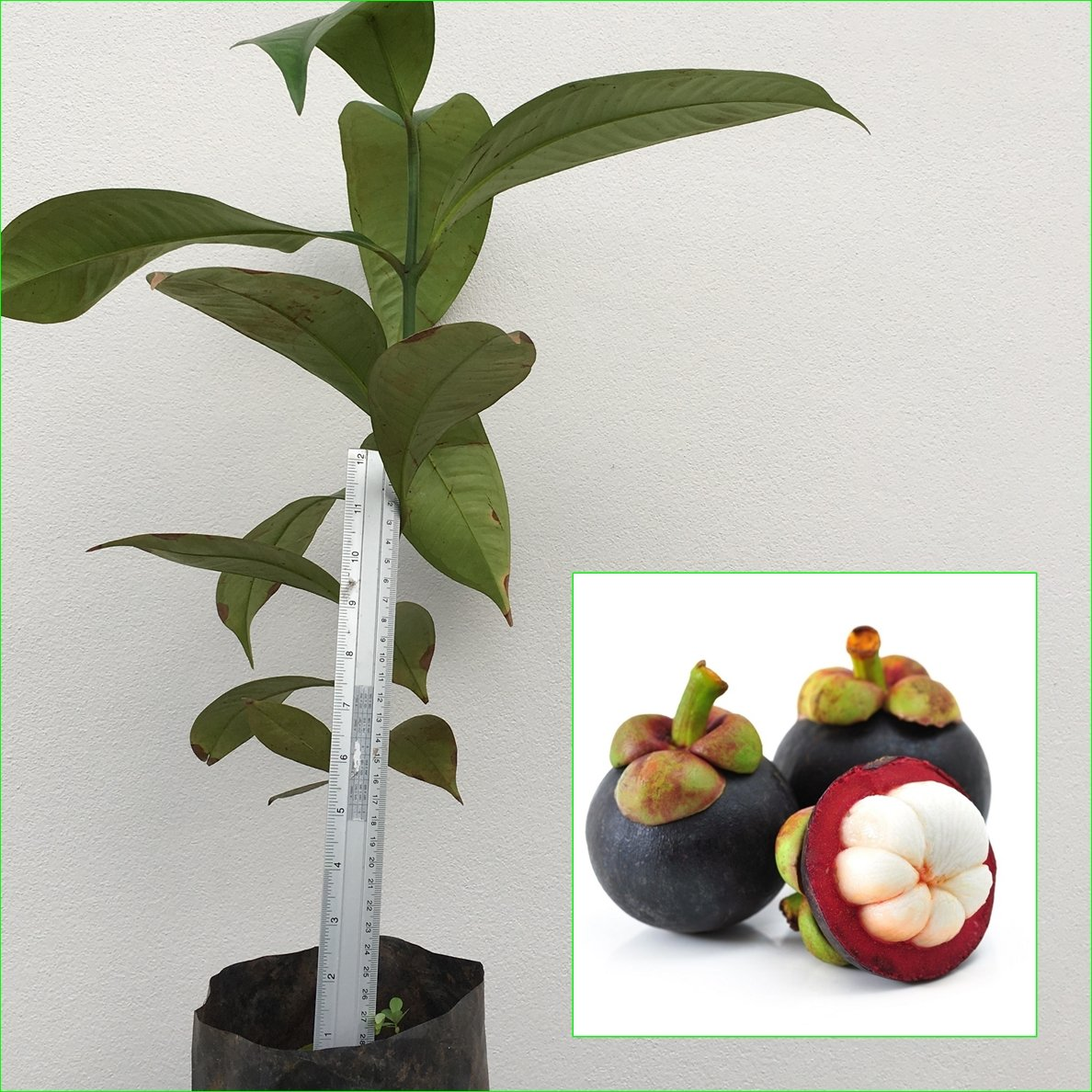 1 Mangosteen Tree Tropical Plant 20'' Tall Garcinia mangostana Queen of fruit Direct from Thailand Free Phytosanitary Cert.