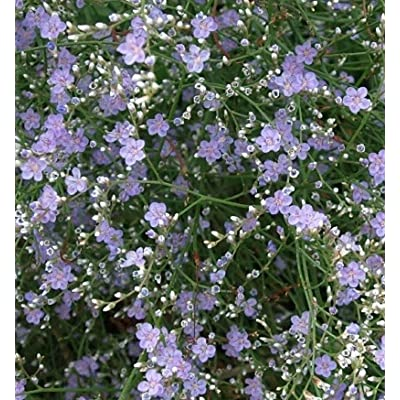SEA Lavender HERB Seeds - Bulk - 500 Seeds : Garden & Outdoor