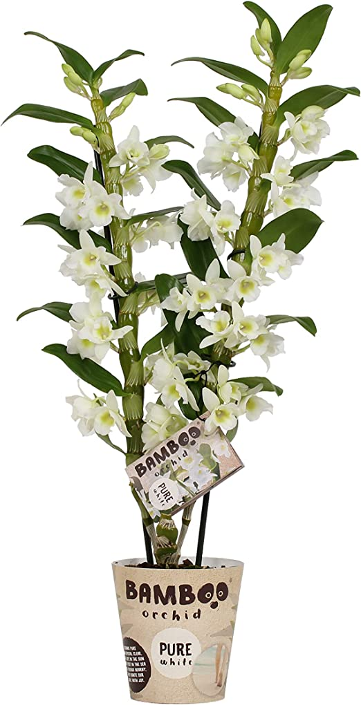 Fiori Bianchi 2.Orchidea Da Botanicly Bambu Orchidea Altezza 50 Cm 2