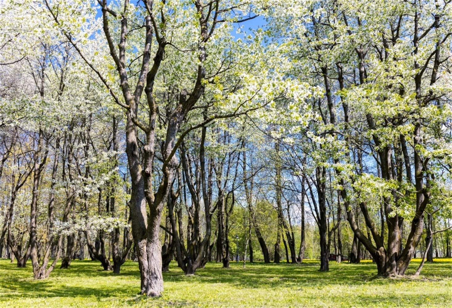 10x6.5ft Spring Park Blooming Tall Trees Lush Wood Grassland Landscape Backdrop Polyester Nature Scenery Background Child Adult Bride Family Portrait Shoot Scenic Wallpaper Spring Outing Picnic