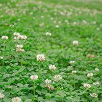 Outsidepride White Dutch Clover Seed: Nitro-Coated, Inoculated - 1/4 LB