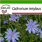 SAFLAX - Escarola - 250 semillas - Con sustrato - Cichorium intybus
