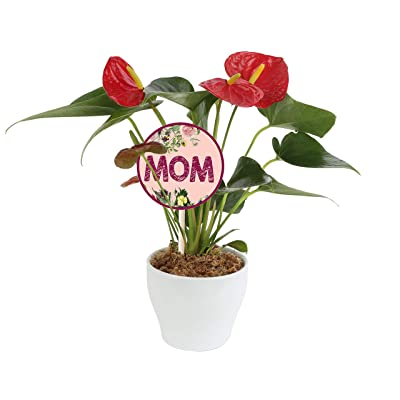 Costa Farms Blooming Anthurium Live Indoor Plant 12 to 14-Inches Tall, Ships in White Ceramic Planter, Mother's Day Gift, Fresh From Our Farm or Home Décor : Garden & Outdoor