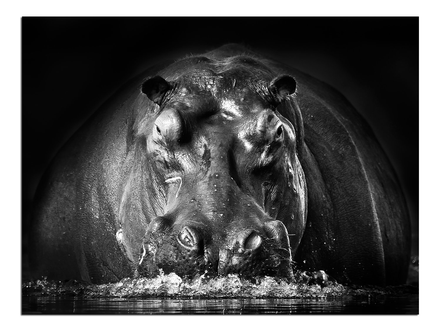 JP London Solvent Free Print PAPL1X1057589 Power Hippo Lodge Black White Animal Ready to Frame Poster Wall Art 40 h by 30 w