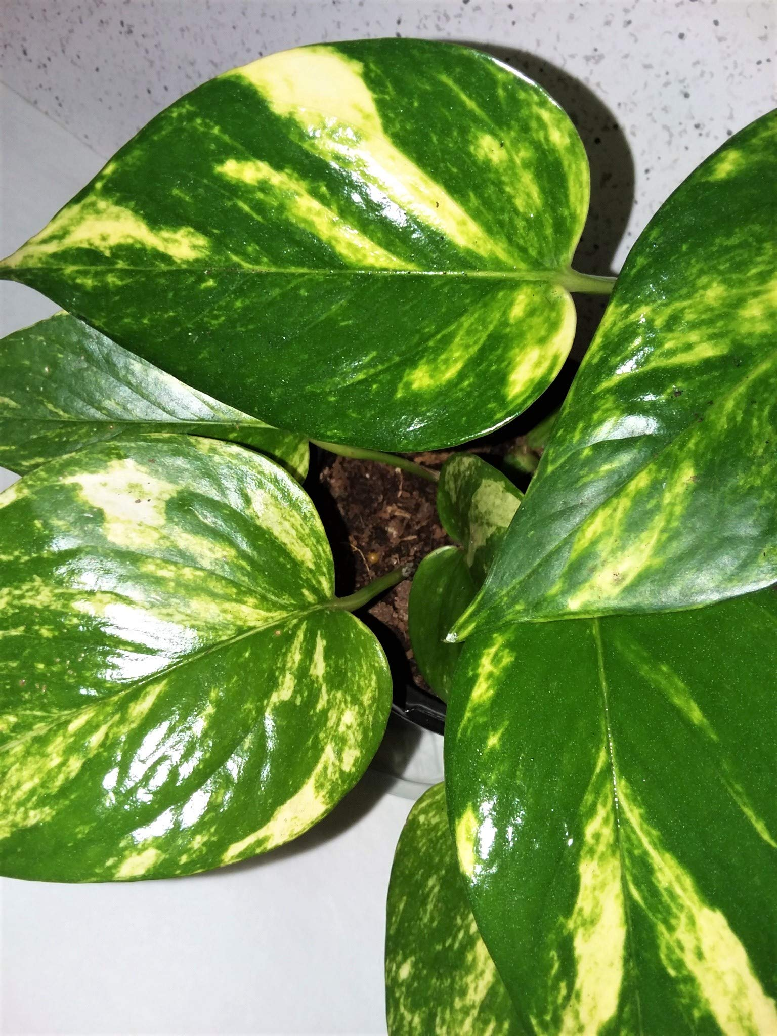 Emeritus Gardens New Plant: The Extra Gold Pothos, with Our Allergy Free Potting and Emeritus Gardens Plant Food