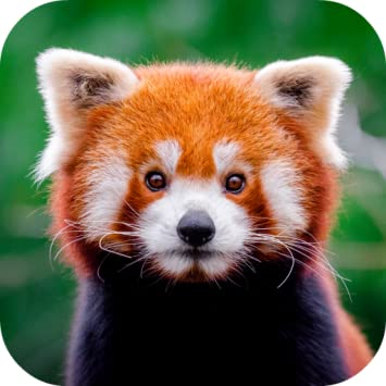 Amazon Red Panda Wallpaper Appstore For Android