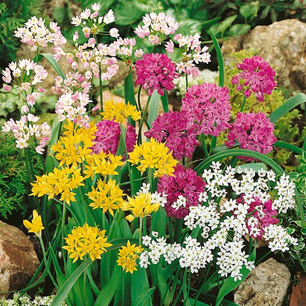 c9520eeb8886 chic Small Flowering Allium Mix - 30 Bulbs - A Rainbow of Color - 5 ...