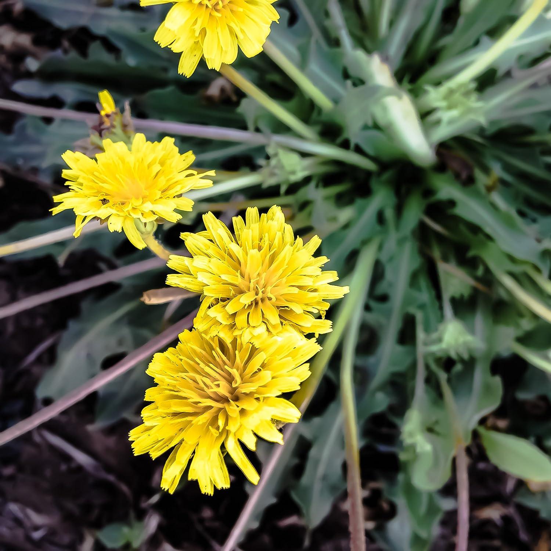 Amazon.com : All Good Things Organic Seeds Russian Dandelion/Kazakh  Dandelion/Rubber Root (Taraxacum Kok Saghyz) Seeds (~50): Non GMO,  Certified Organic ...