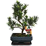 Exotenherz.de - Pianta di Bonsai, Podocarpus macrophyllus, età: 8 anni