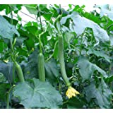 Futaba® Luffa Sponge Gourd Green Pure Natural Organic 50 Seeds