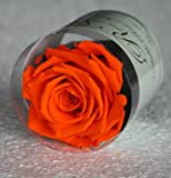 Rosa eterna arancia