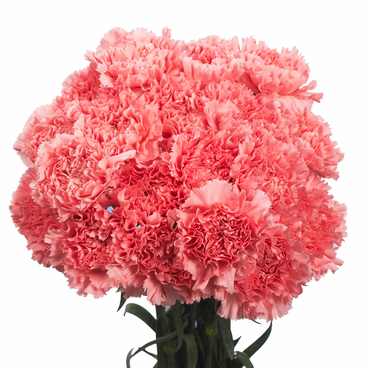 GlobalRose Pink Carnations- 100 Fresh Cut Flowers by GlobalRose