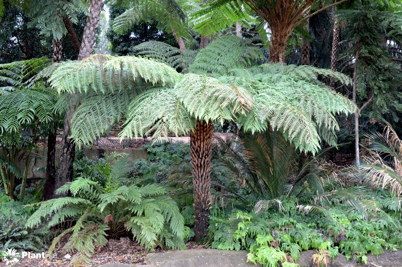 Cyathea Australis - Rough Tree Fern in 9cm Pot, IR Trading Ltd.