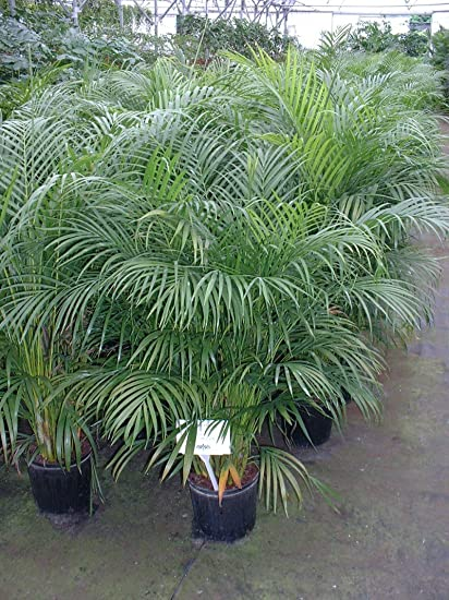 Buy Nelesa Gardening Live Areca Palm Plant In Pot For Indoor Balcony
