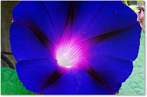"""Deep Blue Morning Glory"" Artwork"