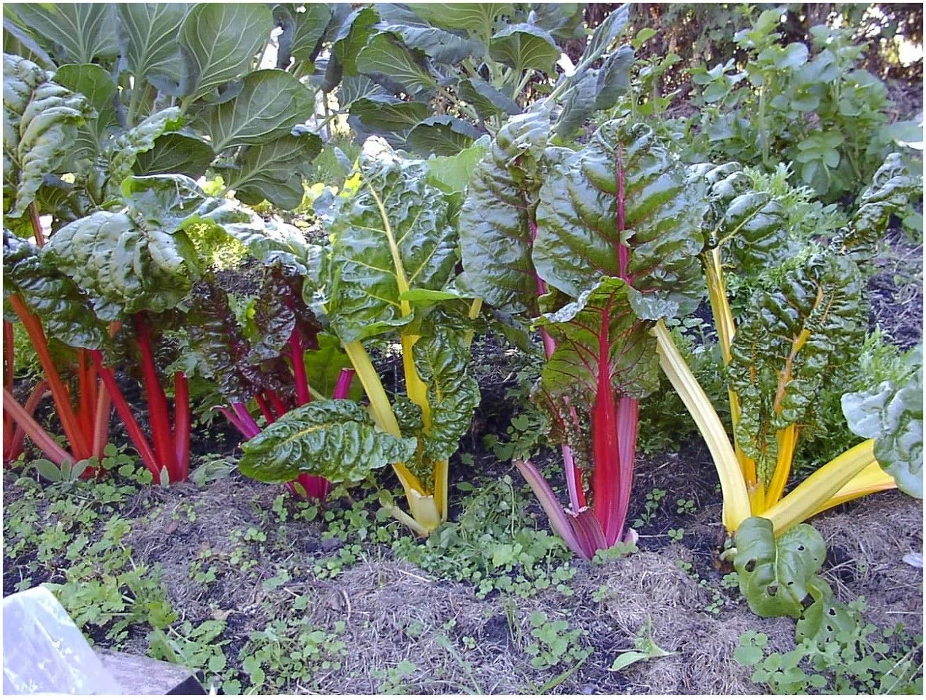 Premier Seeds Direct Swiss Chard Rainbow Mix 75 Seeds Organic Amazon Co Uk Garden Outdoors
